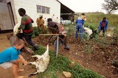 Allevamento bestiame in Sudafrica. Fotografia Stock