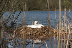 Allevamento bianco femminile del cigno nel suo nido Fotografia Stock
