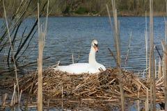 Allevamento bianco femminile del cigno nel suo nido Fotografia Stock Libera da Diritti