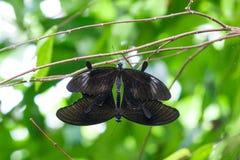 Allevamento birdwing nero della farfalla Immagine Stock