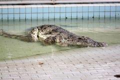 Allevamento d'acqua dolce del coccodrillo. Fotografia Stock