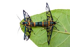Allevamento degli animali dell'insetto della farfalla sulla foglia verde e sul BAC bianco Fotografia Stock