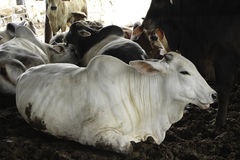 Allevamento dei bovini da carne Fotografie Stock Libere da Diritti