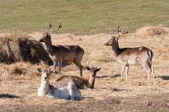 Allevamento dei cervi in Lettonia Fotografia Stock Libera da Diritti