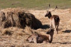 Allevamento dei cervi in Lettonia Fotografia Stock