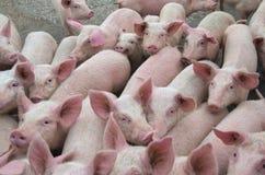 Allevamento del bestiame I maiali dell'azienda agricola Immagini Stock