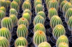 Allevamento del cactus Fotografie Stock Libere da Diritti