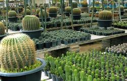 Allevamento del cactus Fotografia Stock Libera da Diritti