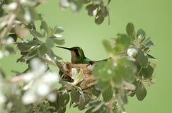 Allevamento del colibrì sul nido Fotografia Stock