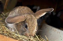 Allevamento del coniglio Immagine Stock