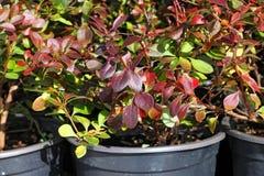 Allevamento del crespino ornamentale Fotografia Stock