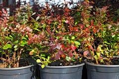 Allevamento del crespino ornamentale Immagine Stock