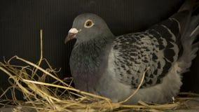 Allevamento del piccione viaggiatore di velocità nella casa del nido dell'uccello Fotografia Stock