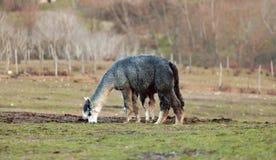 Allevamento dell'alpaca in Toscana Fotografia Stock