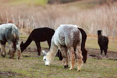 Allevamento dell'alpaca in Toscana Immagini Stock