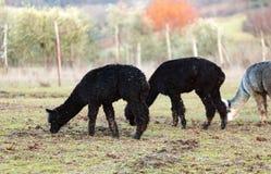 Allevamento dell'alpaca in Toscana Immagine Stock