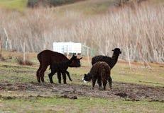 Allevamento dell'alpaca in Toscana Fotografie Stock