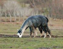 Allevamento dell'alpaca in Toscana Fotografia Stock Libera da Diritti