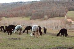 Allevamento dell'alpaca in Toscana Fotografie Stock Libere da Diritti