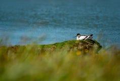 Allevamento dell'avocetta alla riva in Texel Olanda fotografia stock libera da diritti