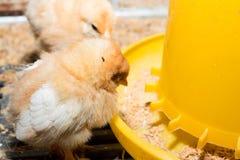 Allevamento dell'azienda agricola dell'uovo del pollo Fotografie Stock