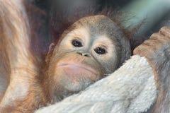 Allevamento dell'orangutan del dettaglio Immagine Stock