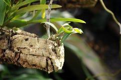 Allevamento dell'orchidea Fotografie Stock