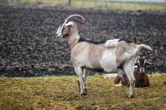 Allevamento della capra Fotografia Stock