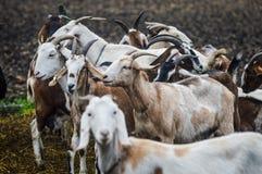 Allevamento della capra Fotografia Stock Libera da Diritti