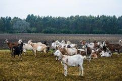 Allevamento della capra Immagini Stock