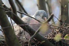Allevamento della colomba Fotografia Stock