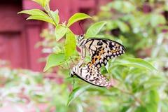 Allevamento della farfalla Fotografia Stock Libera da Diritti