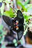 Allevamento della farfalla Immagini Stock Libere da Diritti
