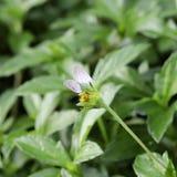 Allevamento della farfalla sul fiore Fotografia Stock Libera da Diritti