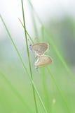Allevamento della farfalla sull'erba Fotografie Stock Libere da Diritti