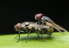 Allevamento della mosca, insetto in Nonthaburi, Tailandia Immagini Stock Libere da Diritti