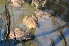 Allevamento della rana nell'azienda agricola vicina Immagine Stock