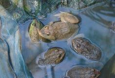 Allevamento della rana nell'azienda agricola vicina Fotografie Stock