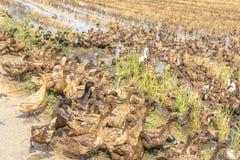 Allevamento delle anatre nella risaia Fotografie Stock Libere da Diritti