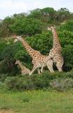 Allevamento delle giraffe Fotografia Stock