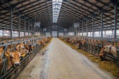 Allevamento delle mucche del diario del Jersey nella stalla libera del bestiame Immagini Stock