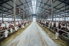 Allevamento delle mucche nella stalla libera del bestiame Fotografia Stock Libera da Diritti