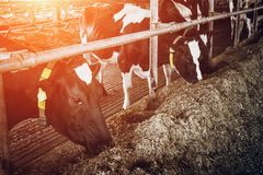 Allevamento delle mucche nella stalla libera del bestiame Immagine Stock