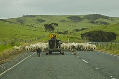 Allevamento delle pecore della Nuova Zelanda Fotografia Stock Libera da Diritti