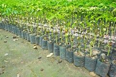 Allevamento delle sementi per silvicoltura Fotografia Stock Libera da Diritti