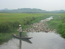 Allevamento di anatre nel Vietnam Fotografia Stock