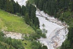 Allevamento di bestiame lungo la corrente di Zamser, Austria Fotografia Stock Libera da Diritti