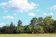 Allevamento di cavalli in campagna australiana Fotografia Stock