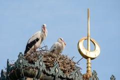 Allevamento di ciconia di Cicionia della cicogna bianca in un nido Immagine Stock
