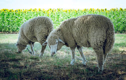 Allevamento di estate Coppie le pecore su un pascolo di estate Fotografie Stock Libere da Diritti